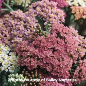 Achillea Summer Pastels-Bailey