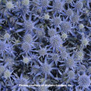 Eryngium (Sea Holly)