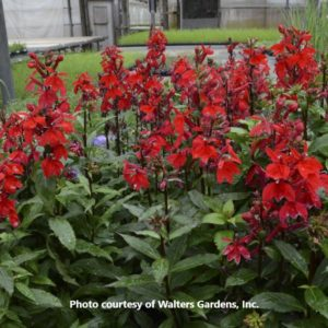 Lobelia (Cardinal Flower)