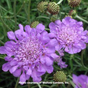 Scabiosa (Pincushion Flower)
