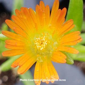 Delosperma (Hardy Ice Plant)