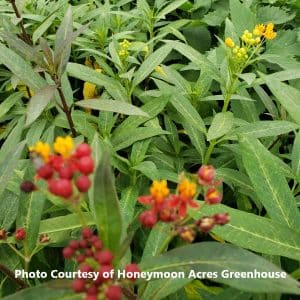 Asclepias (Butterfly Weed)