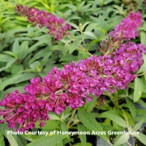 Buddleia (Butterfly Bush)