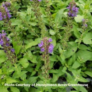 Salvia (Meadow Sage)