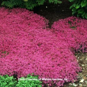 Thymus (Creeping Thyme-Perennial)
